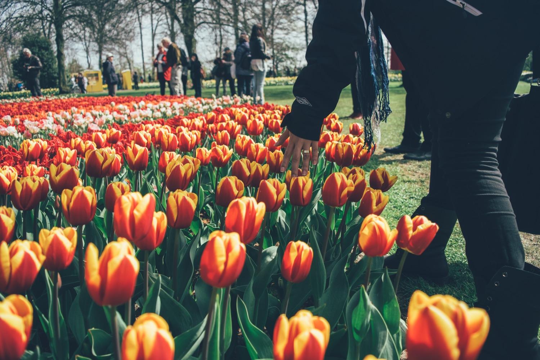 Tulpen aus Amsterdam. Foto: Mario Gogh/Unsplash